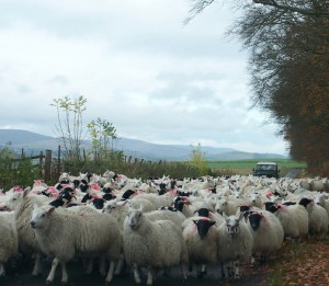 photo of a tagged flock of sheep being herded